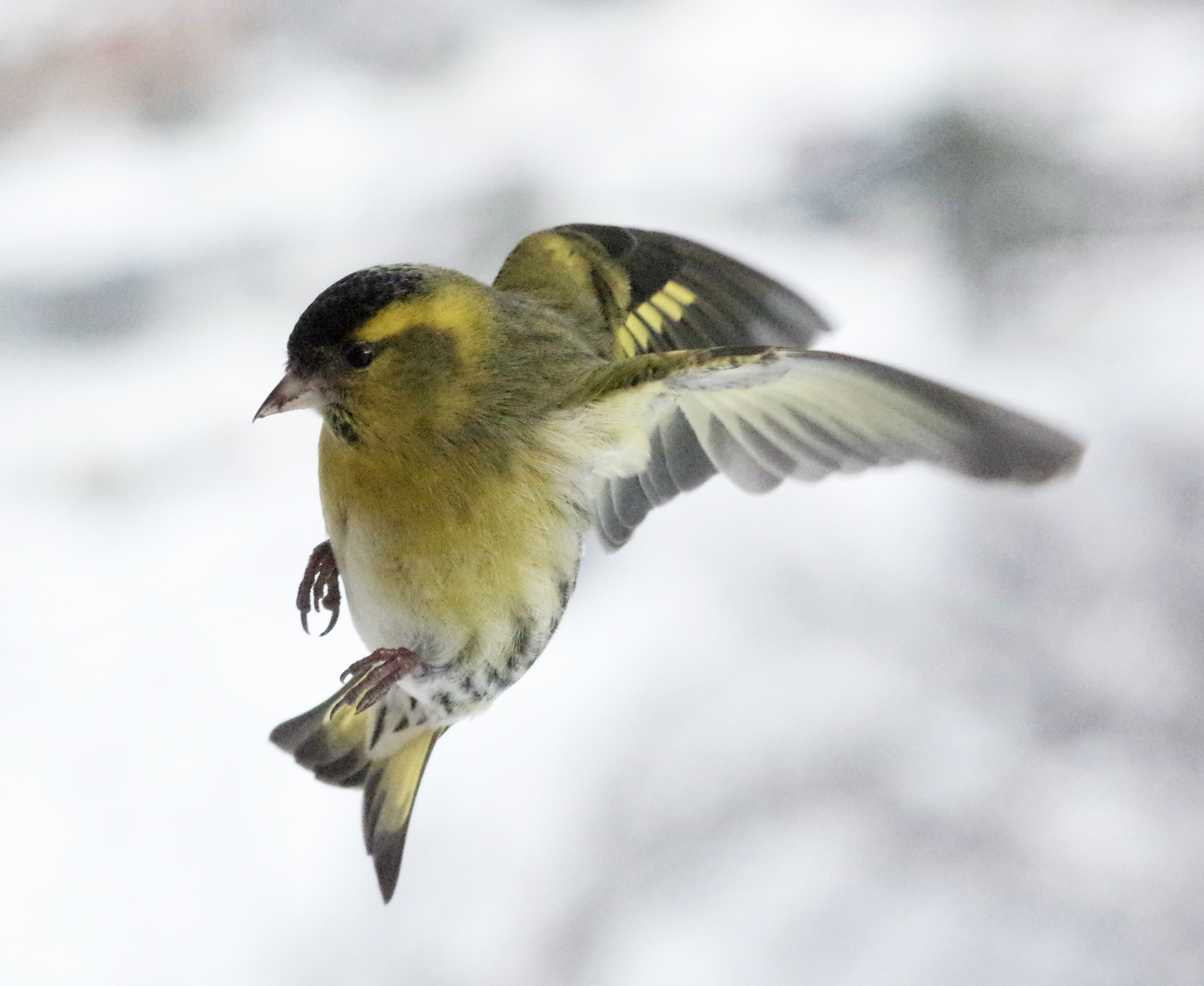 grønnfink in flight